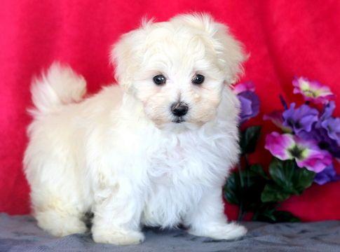 Maltese Puppy For Sale In Mount Joy Pa Adn 61417 On Puppyfinder