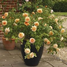 Pessoal, não há mistérios para plantar rosas em vasos, mas toda flor que é plantada em vasos precisa de mais cuidados após o plantio. Quando...