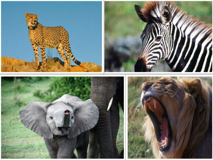 The Big 5 and more than 250 species of birds awaiting you at HillsNek Safari Camp. Consequently, dynamic and abundant wildlife will be spotted on the game drives, night drives, safaris walks and boat cruises. Book it now! www.hillsneksafaris.com