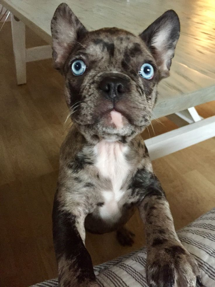 English Bulldog Puppy Tips On What You Must Do When You Get Him Home For The First Time In 2020 Bulldog Puppies French Bulldog Dog French Bulldog Puppies