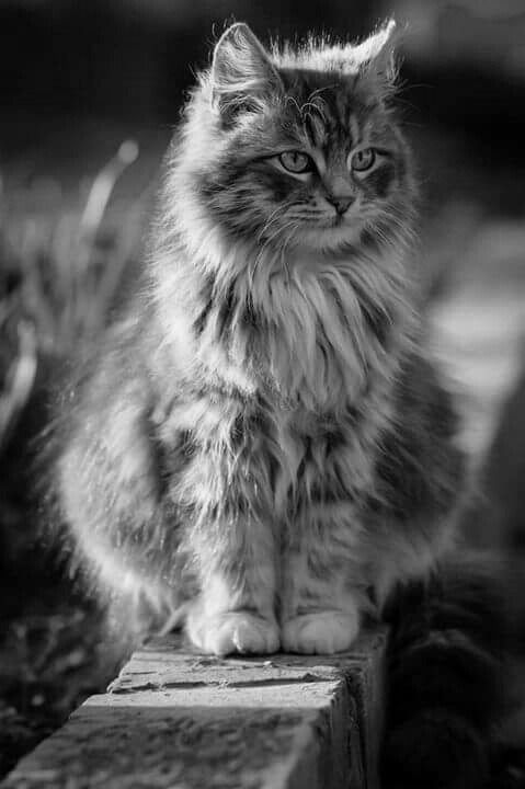 7 Facts About American Bobtail Cats You Have To Know   Katzen