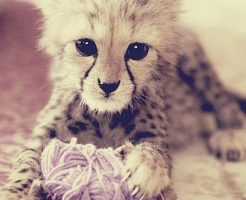 Future BFF: Cats, Babies, Pet, Yarns, Cheetahs Cubs, Adorable, Baby Cheetahs, Eye, Animal