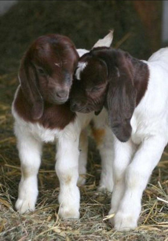Two Cute Baby Goats in the Barn on the Farm