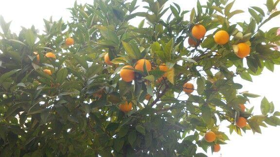 Bahçedeki portakallar :-)