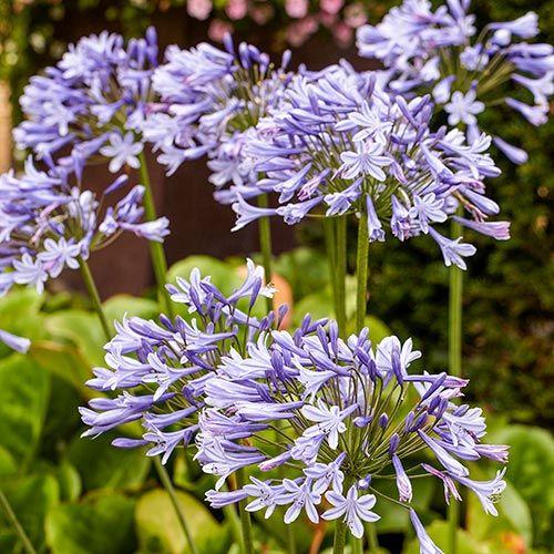 Blue Agapanthus Flower Garden Plans Spring Hill Nursery Agapanthus