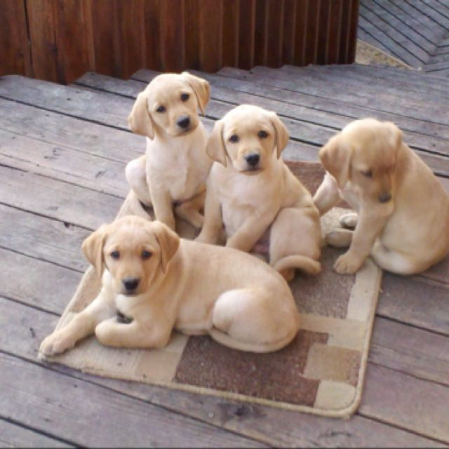 Yellow lab puppies!