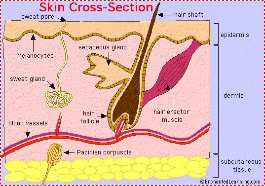 skin anatomy cross-section