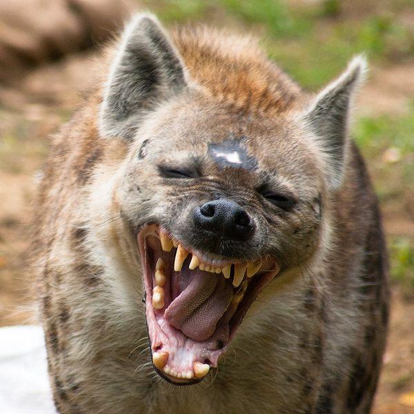 Predatory Birds Spotted Hyena (Crocuta...