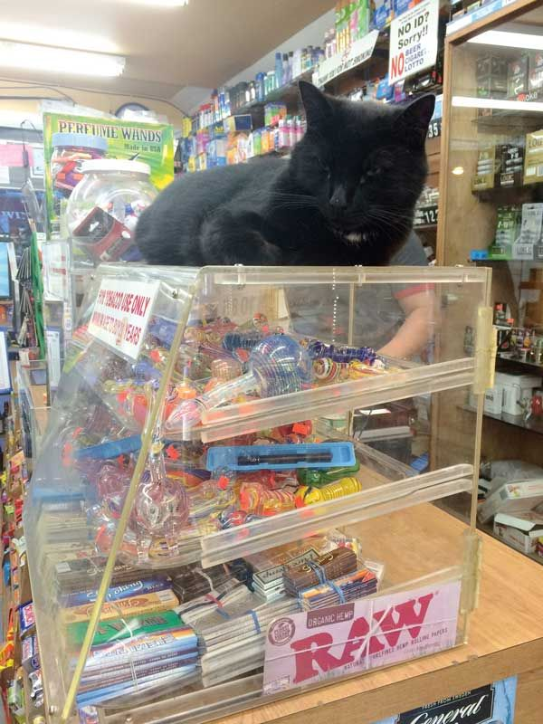 A User's Guide to Bodega Cats - These proud cats live and prosper in convenience stores across the country. Here's why we love them, and how you should interact with them. | Catster