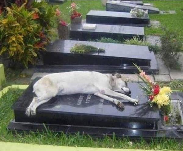 Esse é Capitán, um vira-lata que dorme, todos os dias, no túmulo de seu dono, que morreu em 2006.  O diretor do cemitério afirmou: Todos os dias ele chega no final da tarde e dorme. Foi assim nos últimos 7 anos.