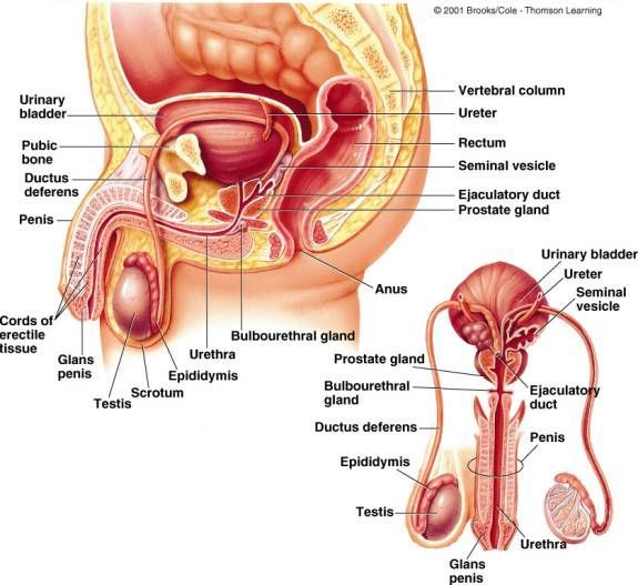 Sex glands in throat