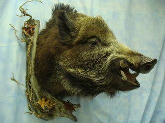 boar open mouth shoulder mount fur feathers amp fins