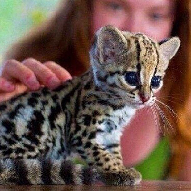 23 Best Images About Baby Ocelots On Pinterest