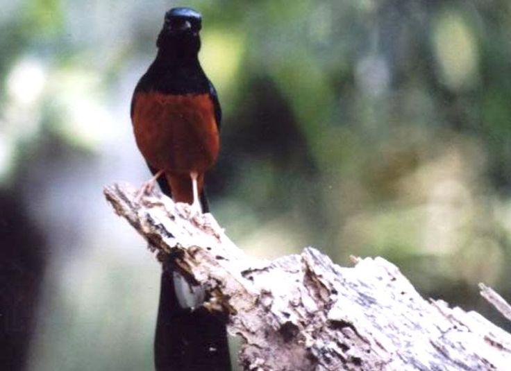 Kicau Murai In 2021 Batu Bird Animals