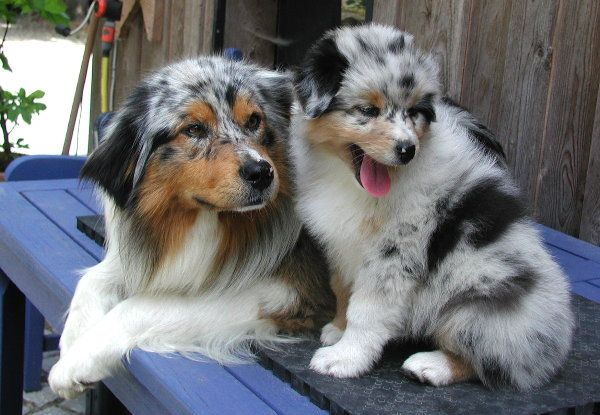 Miniature Australian Shepherd | I think it's absolutely wrong to write a French …