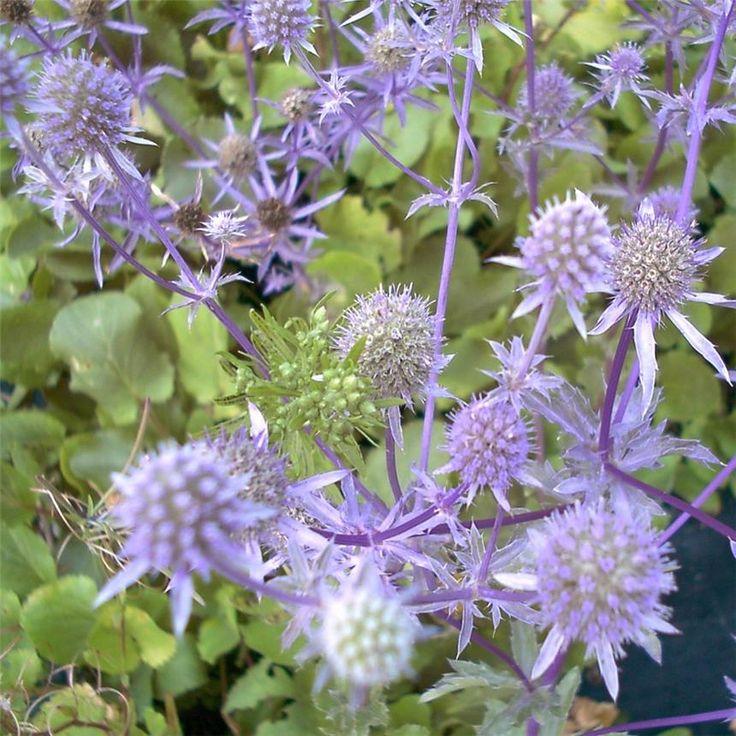 Les 28 meilleures images du tableau chardons sur pinterest fleurs bleues fleurs sauvages et - Fleurs vivaces bleues ...