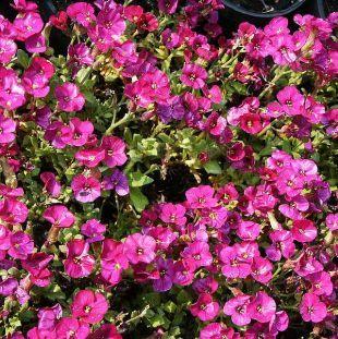 Tařička zahradní Aubrieta Hybrida