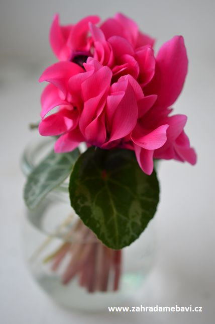 Cyclamen in a vase