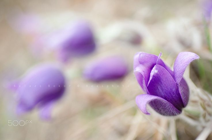 Purple dream - Pulsatilla Grandis