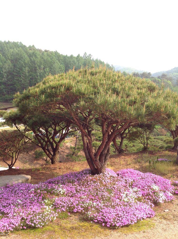Pinetree, 소나무, 강원도,                 kangwon-do,korea