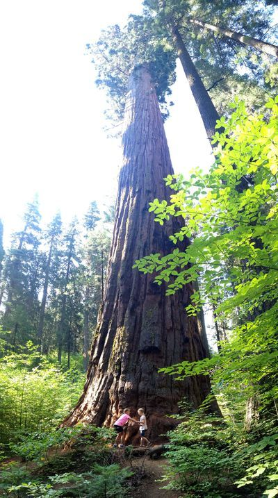 Calaveras Big Trees State Park in Arnold, California     find joy in the journey