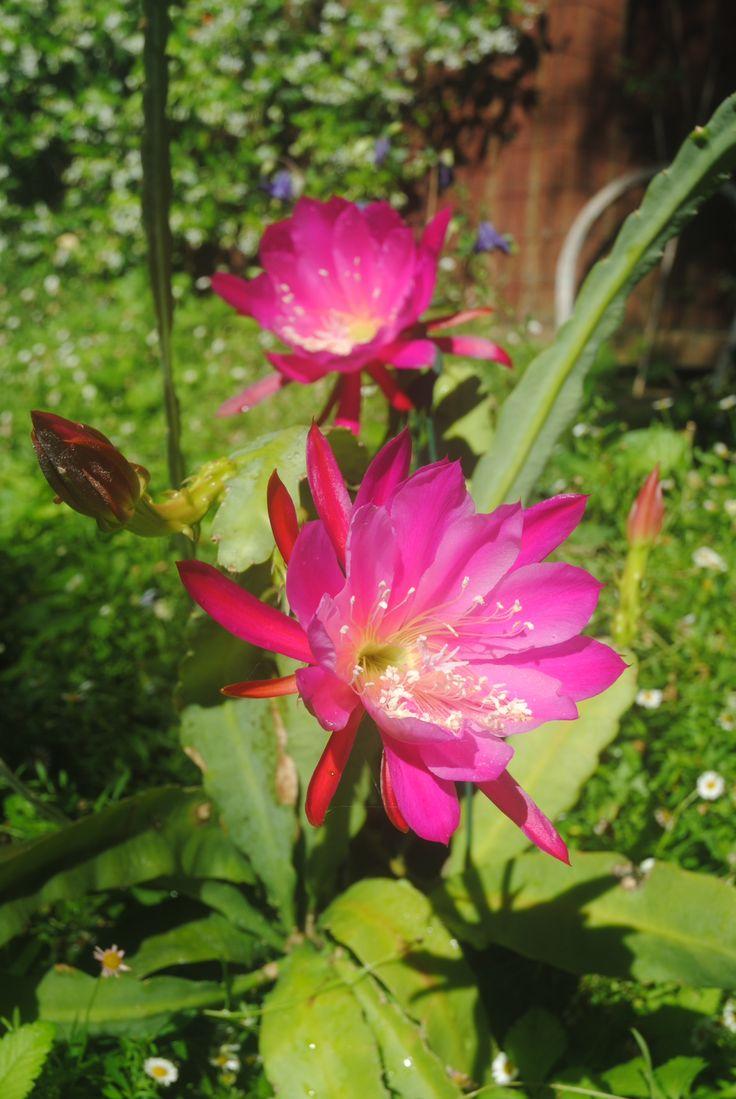 Pink Epiphyllum