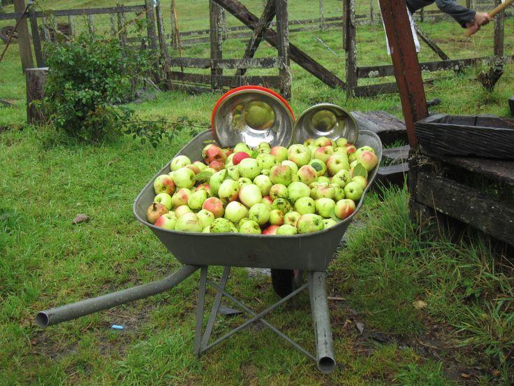 Manzanas de campo