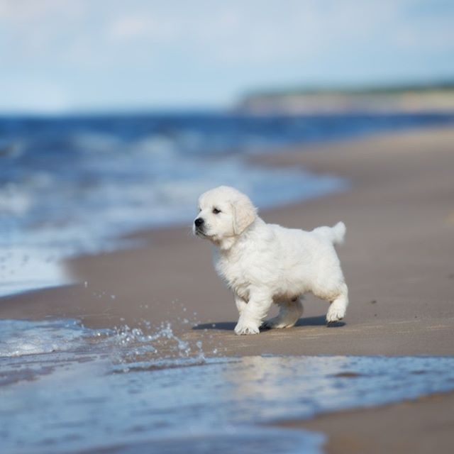 10 Astonishing Versatile Golden Retriever Ideas In 2020 Dogs Retriever Puppy Puppies