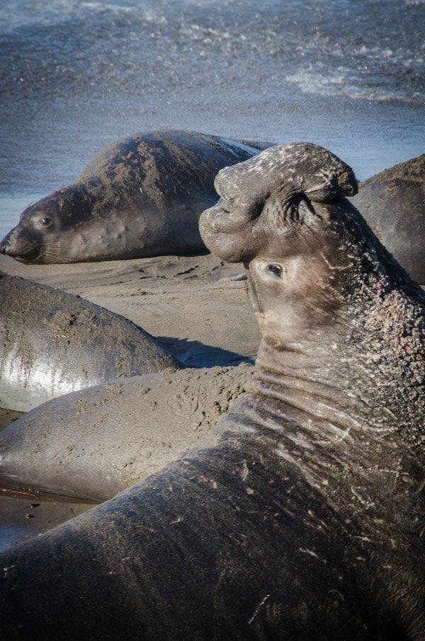 How to See the Elephant Seals at Ano Nuevo State Park near Pescadero, California