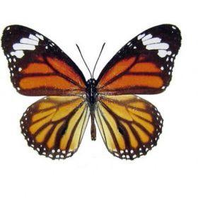 Vlinders :: Danaus genutia sp