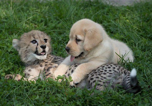 As chitas ou guepardos são animais considerados ameaçados de extinção. O fato de serem bastante ansiosos e tímidos só contribui para o problema, pois este comportamento dificulta sua procriação quando em cativeiro. Desde os anos 80, um zoológico encontrou uma maneira de ensinar os felinos a se socializar melhor: com a companhia de cachorros. A iniciativa teve início noSan Diego Zoo Safari Park, nos Estados Unidos. O parque resgatou alguns cães que viviam em abrigos e deu a eles um novo…