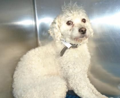 WILL BE KILLED ON JAN. 7, 2016.  PLESE DON'T LET THIS HAPPEN - IF YOU CAN HELP, THIS BABY CAN BE SAVED! ID\t34262261 Poodle, Miniature;Mix MALE   SALLY PORT INTAKE, EL PASO, TX ---City of El Paso Animal Services