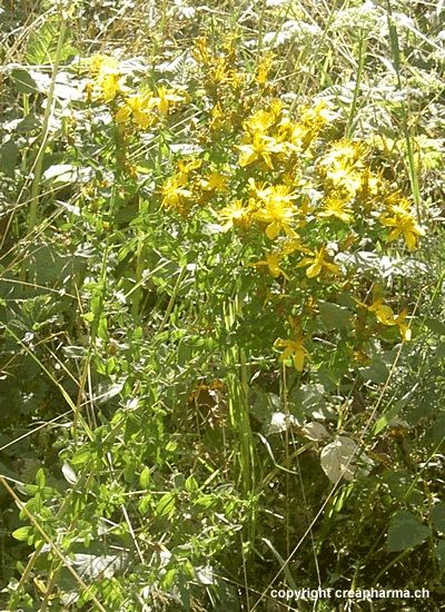 Erva-de-São-João (Hypericum perforatum) Erva-de-São-João Planta medicinal utilizada para tratar os casos de depressão leve a moderada.