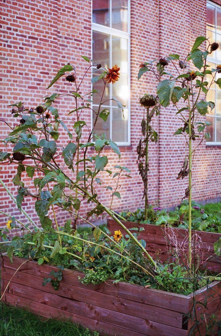 Sunflowers (Nørrebro, 2017)