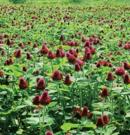 crimson clover - weed suppression