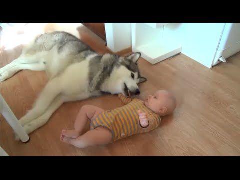 AnimalPlanet: Siberian Husky e neonato, prime immagini di una bellissima amicizia [Video]