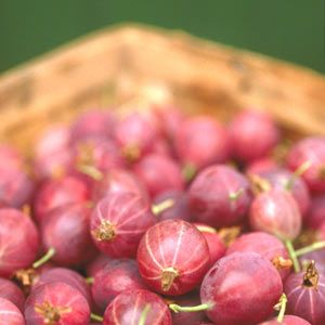Gooseberry Chutney is equally appropriate on a scone or on pork. Try Chef Edward Lee's recipe. | From Organic Gardening