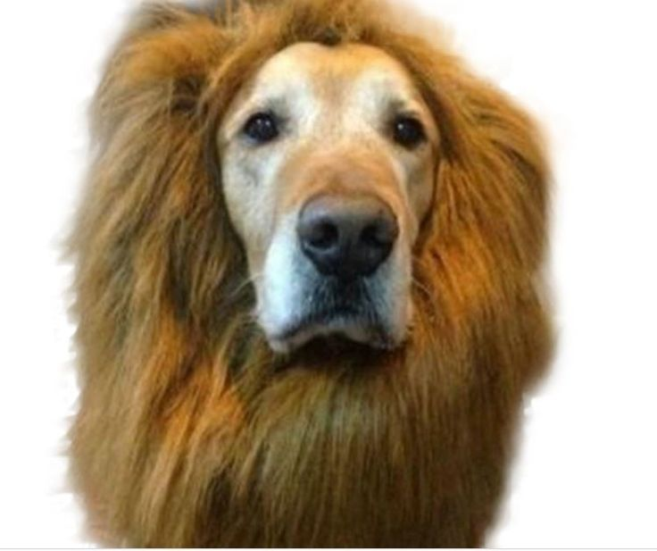 Lion Mane Wig for Large Dogs. Cute Accessory. Great for Dress Up or Pet Costume…