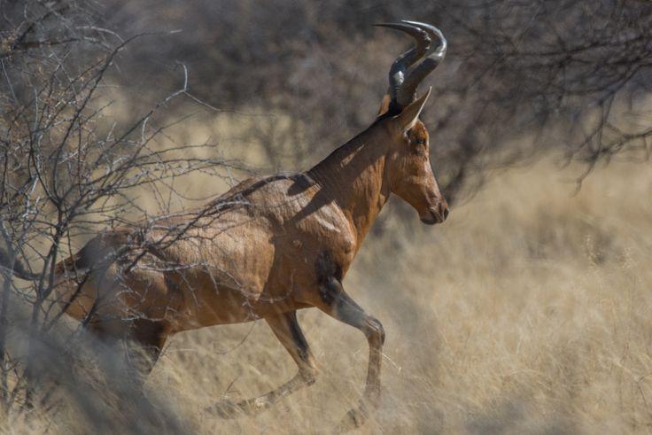 Rooihartebees Red Hartebeest