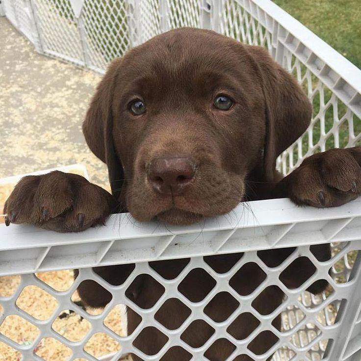 Chocolate Lab Puppy Lab Puppies Labrador Retriever Chocolate