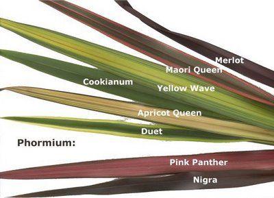 PlantWerkz: New Zealand Flax - Phormium Tenax