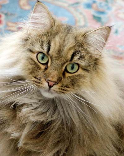 Norwegian Forest Cat - Wegiekatt Timbre. One day I will have one of these.