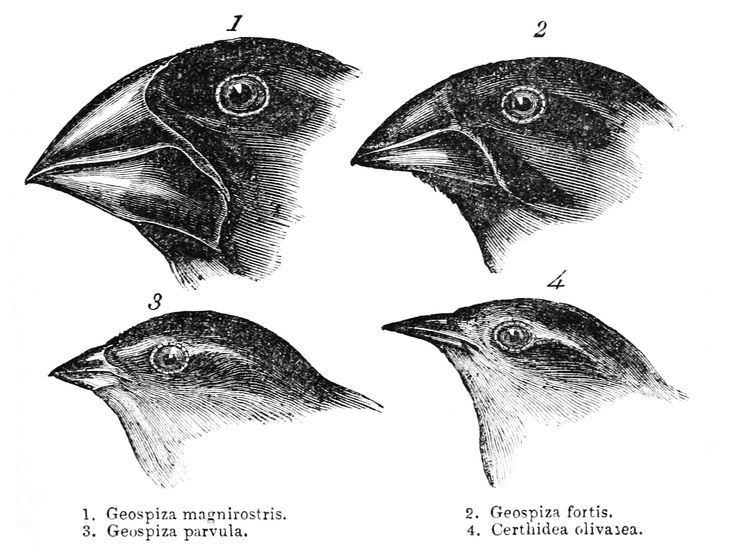 A illustration by Charles Darwin showing how different finches in the Galápagos…