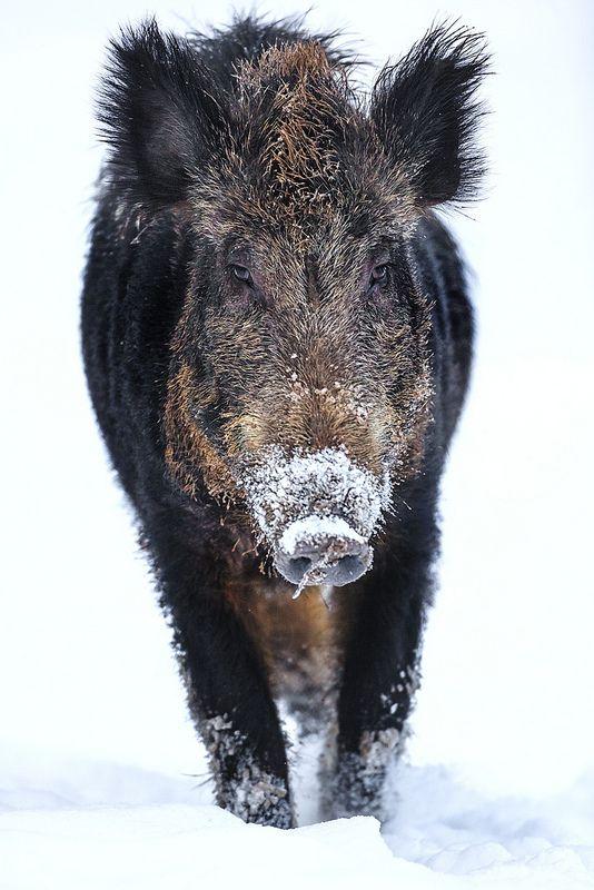 Wildschwein voraus via flickr