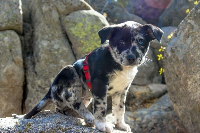 Thora The Puppy Days 7 Weeks Old Catahoula Leopard Dog And