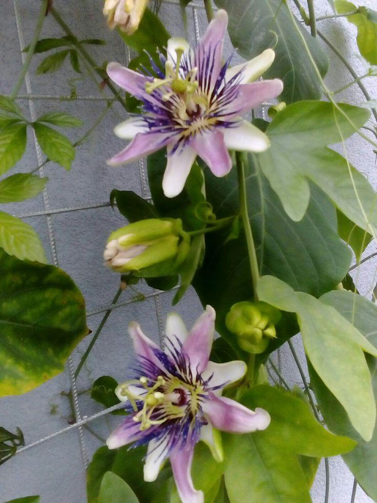 První květy mučenka v zimní zahradě.