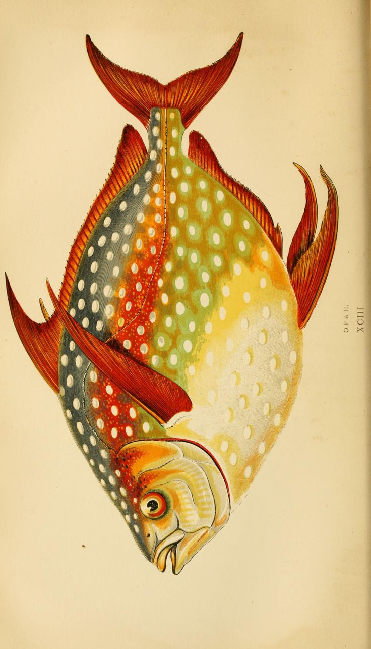 Lampris luna. A history of the fishes of the British Islands v.2 London,Groombridge and Sons,1862-65. Biodiversitylibrary. Biodivlibrary. BHL. Biodiversity Heritage Library