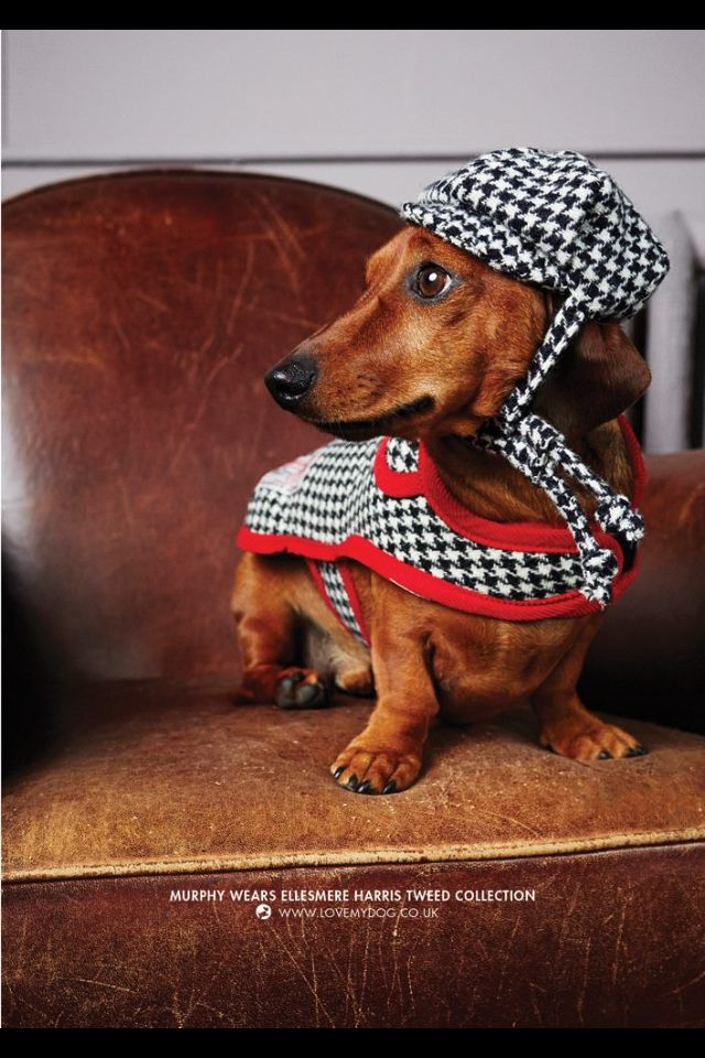 British canine couture- Love My Dog. Perfect for dapper dachshunds