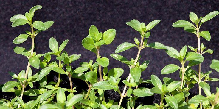 Como plantar tomilho | hortas.info