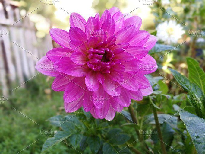 Pink dahlia in the garden by trebolfour on @creativemarket